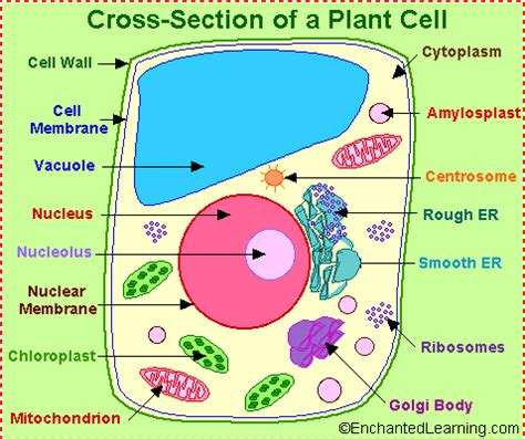 Free plant cells Essays and Papers - 123helpmecom